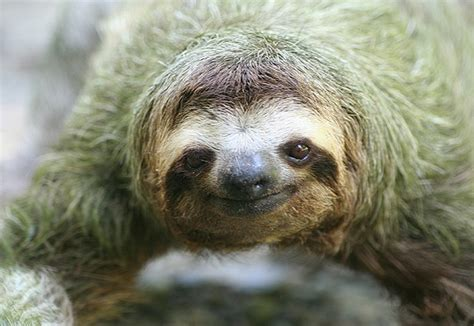 sloths as pets pet sloth www pixshark com images galleries with a bite