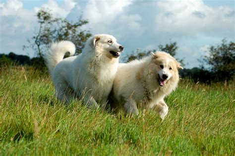 the 10 dog breeds that shed the most iheartdogs com