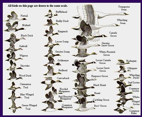 duck types duck identification chart duck identification alaska ducks and geese identification charts and