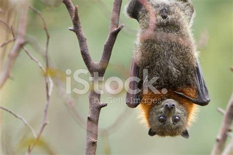 Bat Hanging Upside Down Stock Photos
