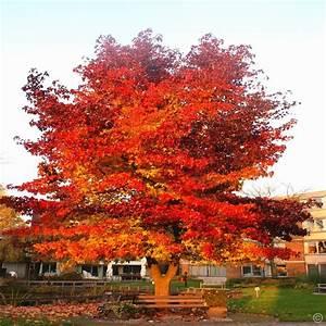 Die Schönsten Gartenbäume : amberbaum 1 strauch g nstig online kaufen bestellen sie ~ Michelbontemps.com Haus und Dekorationen
