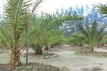 belajar budidaya pohon kurma  indonesia waras farm