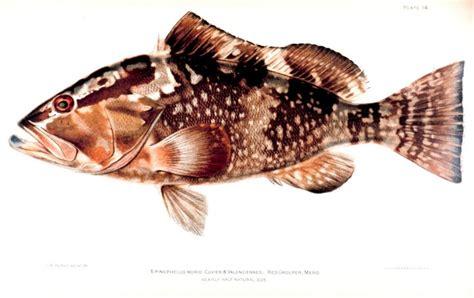 grouper fish epinephelus wikipedia morio species deer court argument vague plain language preview fisherman sentenced supreme hear case conservation status