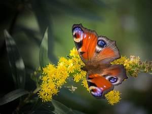 Schmetterlinge überwintern Helfen : zur winterzeit schmetterlingen in der wohnung helfen ~ Frokenaadalensverden.com Haus und Dekorationen