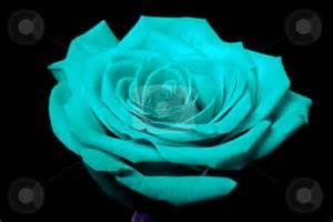 Blue and Black Rose Flower