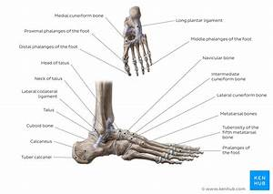 Arches Of The Foot  Anatomy