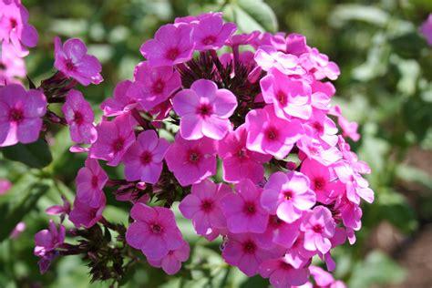 pictures of phlox flowers gardening gab