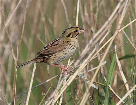 bachman s sparrow life expectancy