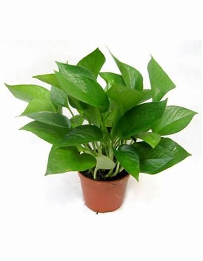 Jade Plant Pot Fertilizer Plate Aureum Included