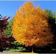 Maple  Sugar  Sugar Maple Tree