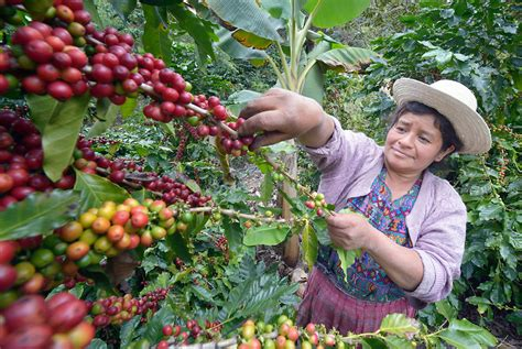 Guatemala Coffee Beans   Find The Best Guatemalan Coffee   Our Great Coffee