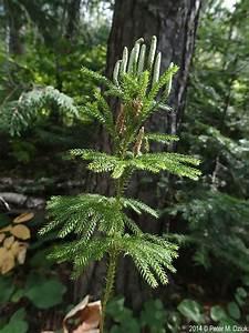 dendrolycopodium, dendroideum, , tree, clubmoss, , , minnesota