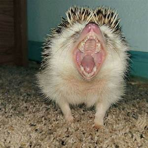 445 best images about Hedgehog Love on Pinterest | Albino ...