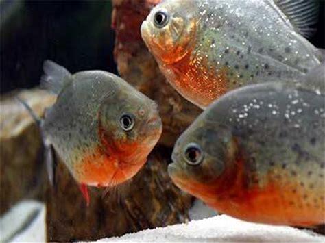 piranha story   piranha fish  predator  prey