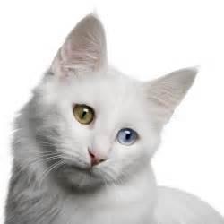 turkish angora cats turkish angora information health pictures