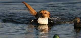 tips  prepare  dog hunting season