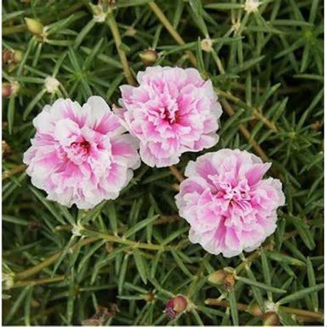 jual bunga krokot pink batik  lapak dzakyra herbal