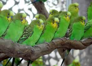 286 Best Parakeets Images On Pinterest Budgies