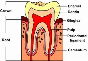 Schematic Diagram Of A Tooth Structure