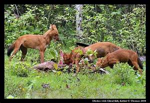 Hunting with Dholes (Wild Dogs) in Nagarhole National Park ...