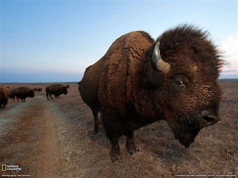 american bison wallpaper  wallpapersafari