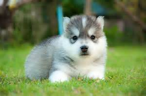 Cute Baby Huskies
