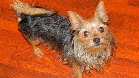 Chorkie Puppy Dog Breed