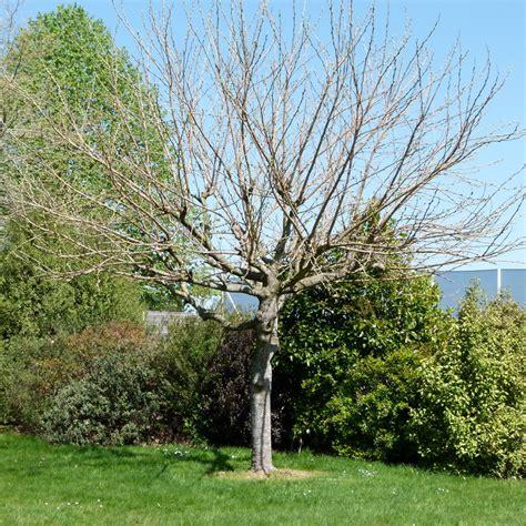 p 233 pini 232 res de kerzarc h nos conseils comment tailler les muriers platanes