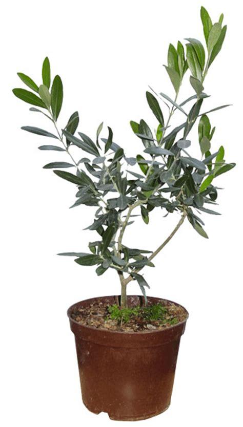 tailler un olivier en pot 28 images un olivier en pot 28 images l olivier forg 233 oliviers