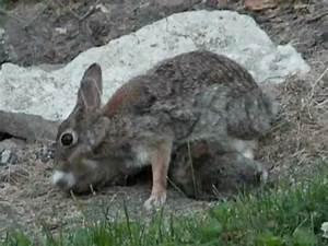 Mother Bunny Rabbit Feeding Her Baby Bunnies - YouTube