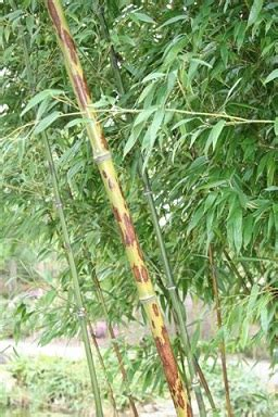 Botanischer Garten Grüningen öffnungszeiten by Bambus Vom Limhorn
