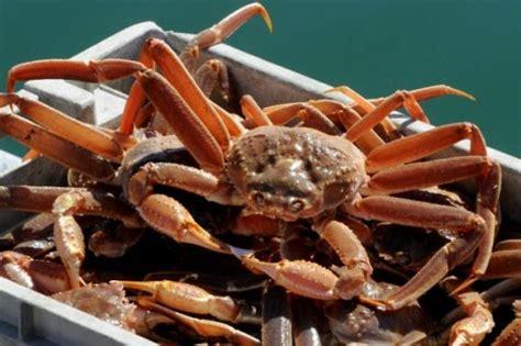 cuisiner homard vivant pour pâques au québec les crabes des neiges sont plus