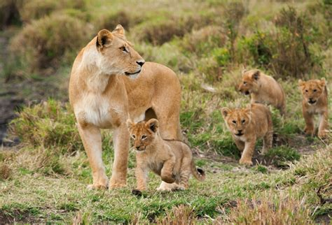 WATCH World Lion Day Sees South Africa Tarnished by