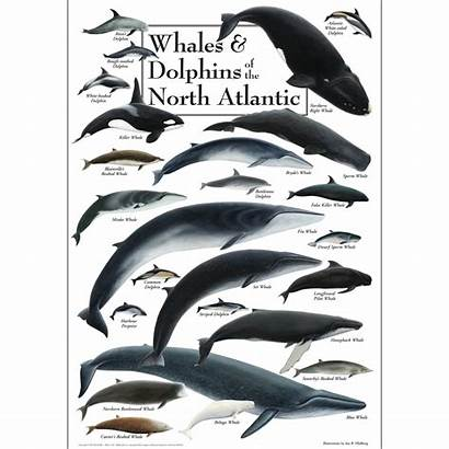 Whales Atlantic Dolphins Poster North Florida Birds