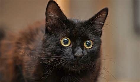 Propeller cat at the dungeon defenders 2 wiki desktop. El gato Bombay | Información completa de la raza ¡Con fotos!