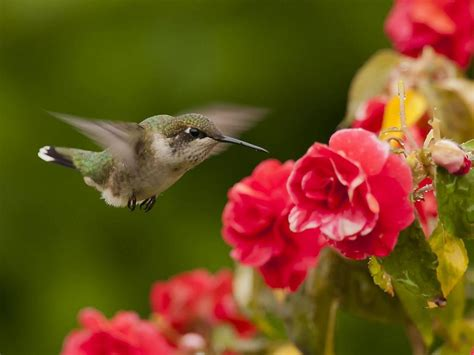 hummingbird  flowers hd desktop wallpaper