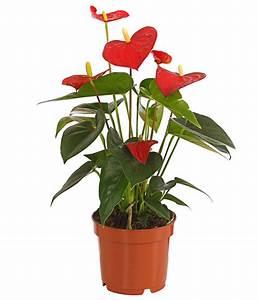 Zimmerpflanze Mit Roten Blättern : gro e flamingoblume anthurie rot dehner ~ Eleganceandgraceweddings.com Haus und Dekorationen