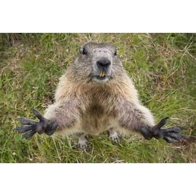 Celebration of the Marmots. - AZHT.net