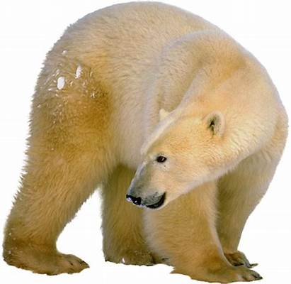 Polar Bear Transparent Pngimg