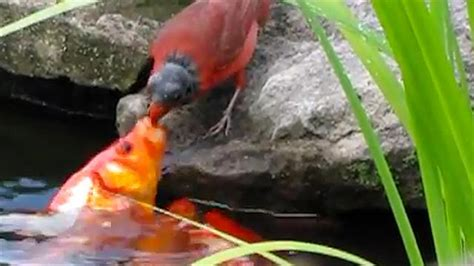 bird feeding goldfish