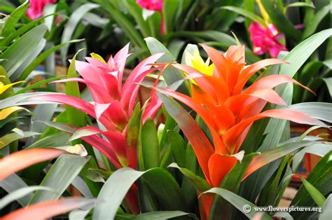 different types of bromeliads with pictures bromeliad picture 23
