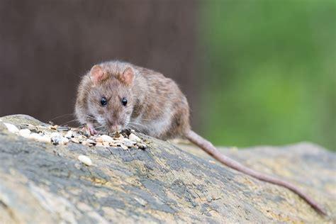 queue de rat cuisine surmulot ou rat brun comment s 39 en débarrasser produit