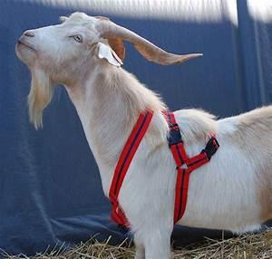 Matingmark Deluxe Harness Rurtec   - Goat Sheep - Ob