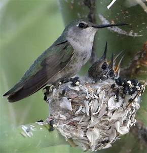 Costa's Hummingbird (Calypte costae) Female at nest with ...
