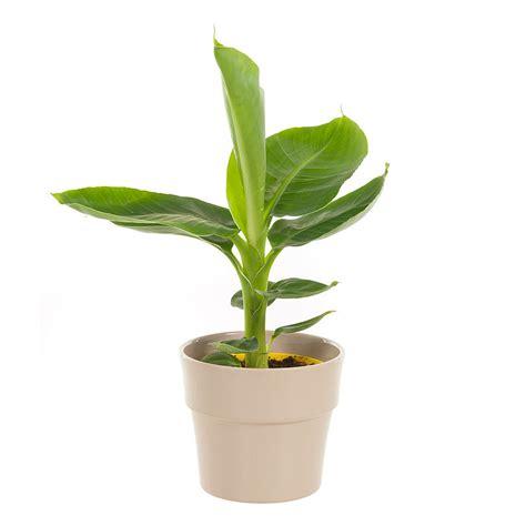 achetez maintenant une plante en pot bananier du japon
