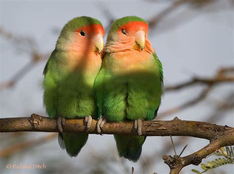 peach faced lovebirds rich ditch s photography blog