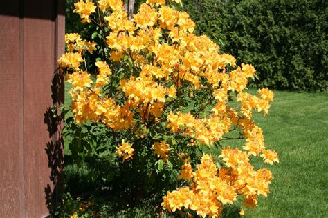 Golden Lights Azalea by Healthy Homes Outdoor Living And Technology Links Golden
