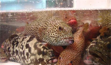 grouper fish hong kong species flavor cooked craig matthew groupers meat market recipes