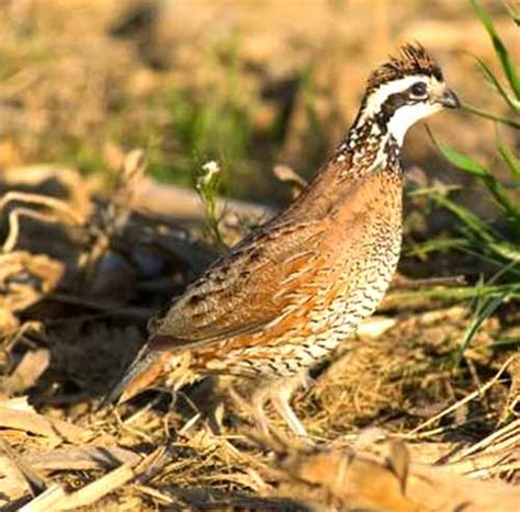 quails eat modern farming methods