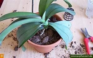 Orchideen Umtopfen Video : orchideen umtopfen phalaenopsis ~ Watch28wear.com Haus und Dekorationen